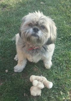 Meet Kiki a 5-7 yr old shih tzu girl That is looking for a family to adopt her and give her a loving home. She is friendly with everyone she meets and does well with other dogs not sure about cats, she hasn't been exposed to them yet. She is a very quiet dog and would do well in an apartment because she is very well behaved and needs to have some walking time.