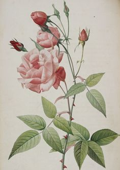 Pink roses by Pierre Joseph Redouté -- From Pierre Joseph Redouté, Les Roses (Paris, 1817-24).