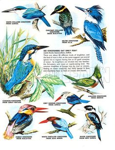 Afbeeldingsresultaat voor kingfishers of the world