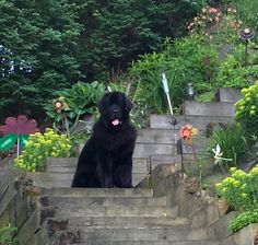 Finn the Newfie in the flowers