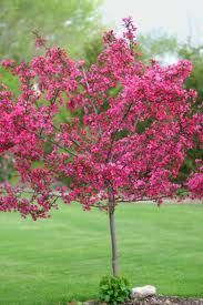 Crabapples are versatile, small, ornamental trees used in the urban landscape. Crabapples bloom in spring, usually in May, bearing flowers that vary a great deal in color, size, fragrance, and visual appeal. It is common for flower buds to be red, opening to pink or white flowers.
