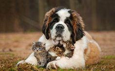 fiche saint bernard chien