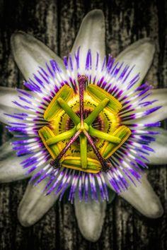 Passion Flower [Passiflora] - Flickr - Photo Sharing!