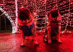 Until next Christmas we are saying goodbye to the Christmas decorations  #mauricethepug #bubble #queenb #cristmasdecorations #goodbye #redlight #holiday #puglife #pugchat #pugstory #tirgumures #romania #pug #mops #dog #puppy