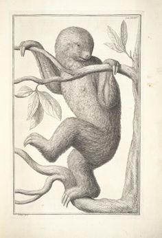 Sloth.    Maurice Sendak Sloth!!!           Amstelaedami :Apud Janssonio-Waesbergios & J. Wetstenium & Gul. Smith,1734-65. Biodiversitylibrary. Biodivlibrary. BHL. Biodiversity Heritage Library