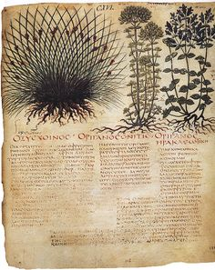 xxx ~ 'Old botanical illustration from Vienna Dioscorides'