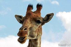 giraffe-face-addo-elephant-national-park.jpg 550×366 pixels