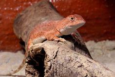 (F)earless dragon. Lizards, Reptiles, Reptile Room, Terrarium, Dragon, Animals, Terrariums, Animales, Animaux