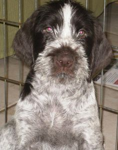 German Wirehaired Pointer Pup ~ Classic Look ~ Reece Kennels