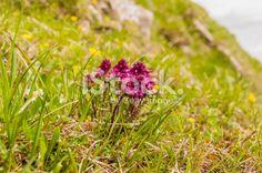 Pedicularis verticillata Royalty Free Stock Photo