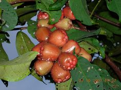 Indonesian Fruit : Jambu Air Cincalo ( Eugenia Aquea Burm )