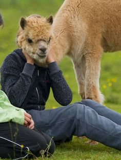 To be an Alpaca for a day