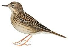 Chaco Pipit (Anthus chacoensis)