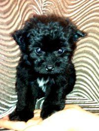 Pomapoo   0307 Puppies   Pinterest