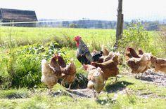 Glückliche Hühner auf dem Seeleitenhof Sindelsdorf