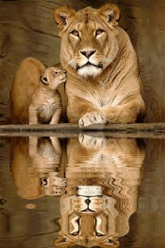 Mother and baby lion