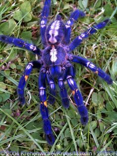 The Gooty Sapphire Ornamental Tree Spider (Poecilotheria metallica) is a critically endangered tarantula found in Southeastern India and Sri Lanka