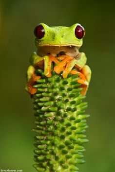 Frog on a plant stalk - http://www.facebook.com/pages/Pour-la-protection-des-animaux-et-de-la-nature/120423378016370