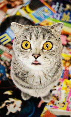 """Plus de 22.000 utilisateurs d'Instagram suivent quotidiennement les aventures de Melissa, le """"chat Einstein"""". Elle tire son son surnom de sa ressemblance avec le scientifique à la langue tirée, mais Melissa le chat est atteint d'ostéochondrodysplasie, une maladie dégénérative qui impacte le développement osseux et cartilagineux."""