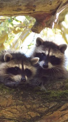 Animals, Mammalia, Procyonidae,  Raccoon  If you spend this much time in trees, you have to be cool. I love raccoons :)