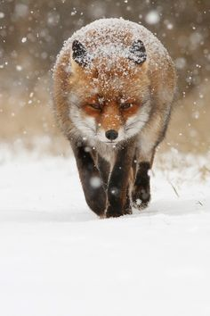 This photo 'Fox in the Snow' by Roeselien Raimond is beautiful. The poor old fox has had a lot of bad press lately. I think they are amazing creatures. Beautiful Creatures, Animals Beautiful, Cute Animals, Beautiful Scenery, Baby Animals, Pretty Animals, Beautiful Life, Funny Animals, Fuchs Baby