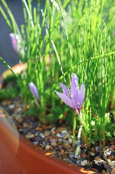 Saffron flower -Song of Solomon 4:14Spikenard and saffron; calamus and cinnamon, with all trees of frankincense; myrrh and aloes, with all the chief spices: