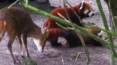 rode panda met jong in Artis