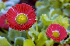 Bellis perennis (Daisy). Close up of red flowers - James A. Guilliam/Photolibrary/Getty Images