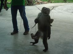 Hier vraagt de aap Sam na zijn show om geld aan de toeristen