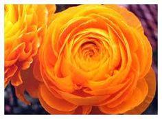 Orange Rununculus