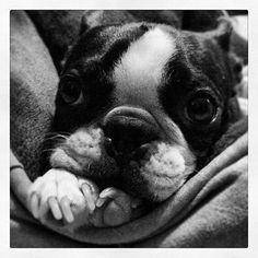 ;)  Boston terrier
