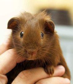 Cute Alert: Guinea Pig With a Center Part | POPSUGAR Love & Sex