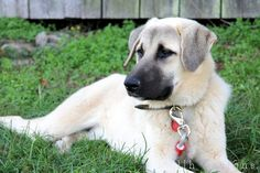 We think that is what cadence is partly. All Breeds Of Dogs, Large Dog Breeds, Large Dogs, Anatolian Shepherd Puppies, Shepherd Dogs, Kangal Dog, Street Dogs, Dog Rules, Beautiful Dogs