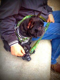 Il blog di Filippo, bouledogue francese: Patentino per i proprietari di cani!