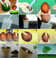 Avacado Tree WTF?! you have no idea how badly i want to do this!!