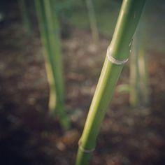 #bamboo #arashiyama #kyoto #Japan