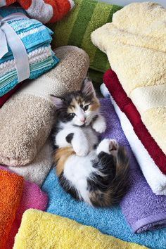 Calico kitten on towels Photograph  - Calico kitten on towels Fine Art Print