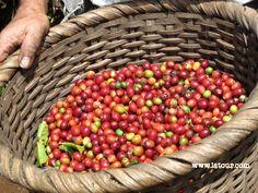 Coffee Beans! Near Poas Volcano, Costa Rica