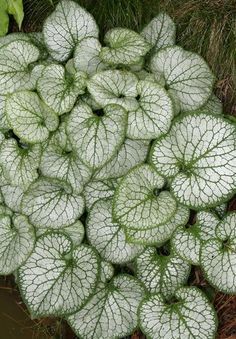 Brunnera macrophylla Jack Frost PP 13859 | Jack Frost Siberian Bugloss for sale $17.00 | Plant Delights Nursery
