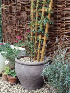 Growing Climbing Plants in Containers... jasmine and some clematis