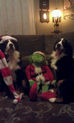 Christmas 2012 Bernese Mountain, Mountain Dogs, New Beginnings, Bliss, Pets, Classic, Sweet, Christmas, Animals