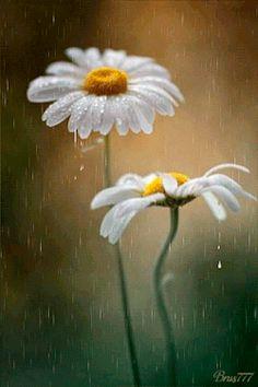 gyclli: Ромашки под дождем Daisies in the rain