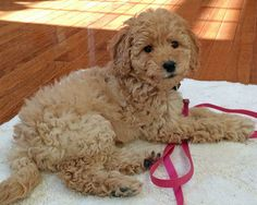 Ridley the Goldendoodle