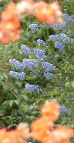 california native garden - Google Search