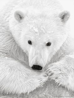 a close-up of a polar bear
