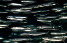 Start eating sardines today and reap the benefits!