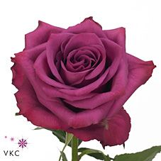 Blueberry-variety of purple rose