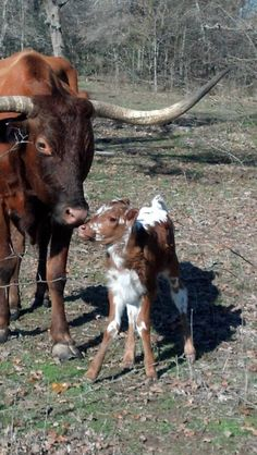 Texas Longhorn - New Christmas Heifer -- (FA Sunshine X JBR Cash) *now we need… Longhorn Cattle, Long Horn, Selective Breeding, Cowgirl And Horse, Beef Cattle, Photo Restoration, Ranch Life, Texas Longhorns, The Ranch