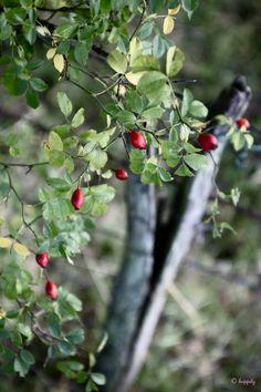 rosehips - Cora sneaks in to harvest these for tea and syrup