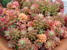Sedum rubrotinctum 'Aurora' – Pink Jelly Bean - See more at: http://worldofsucculents.com/sedum-rubrotinctum-aurora-pink-jelly-bean